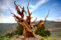 Bristle Cone Pine - regarded as the oldest tree in the world - 4500 yrs old