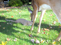 The Deer and the Cat