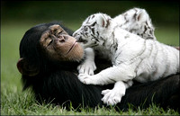 White Tigers and their new Mom